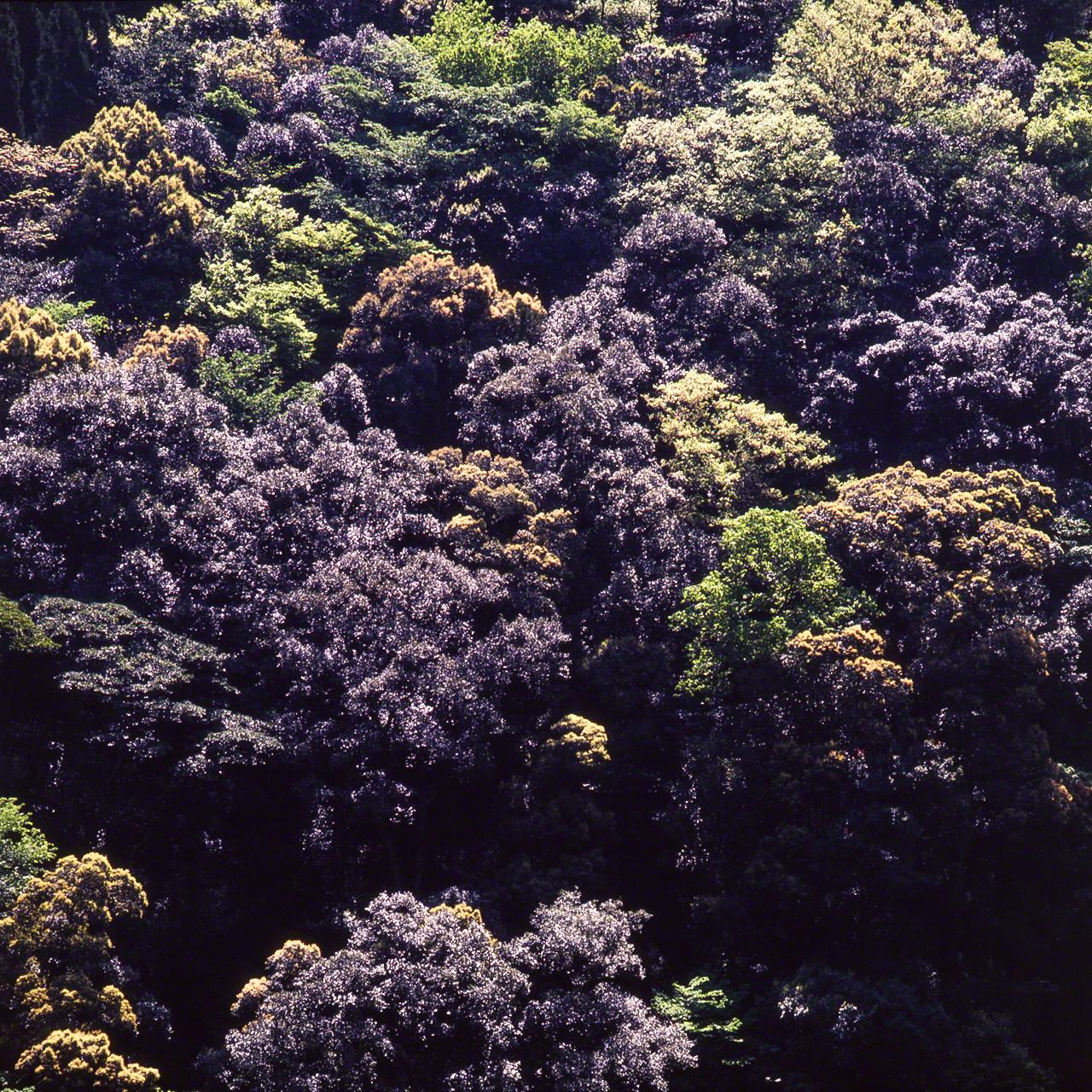 Итиигаси, разновидность Cyclobalanopsis. В период появления новых листьев они ярко сверкают на этом дереве при определённом освещении