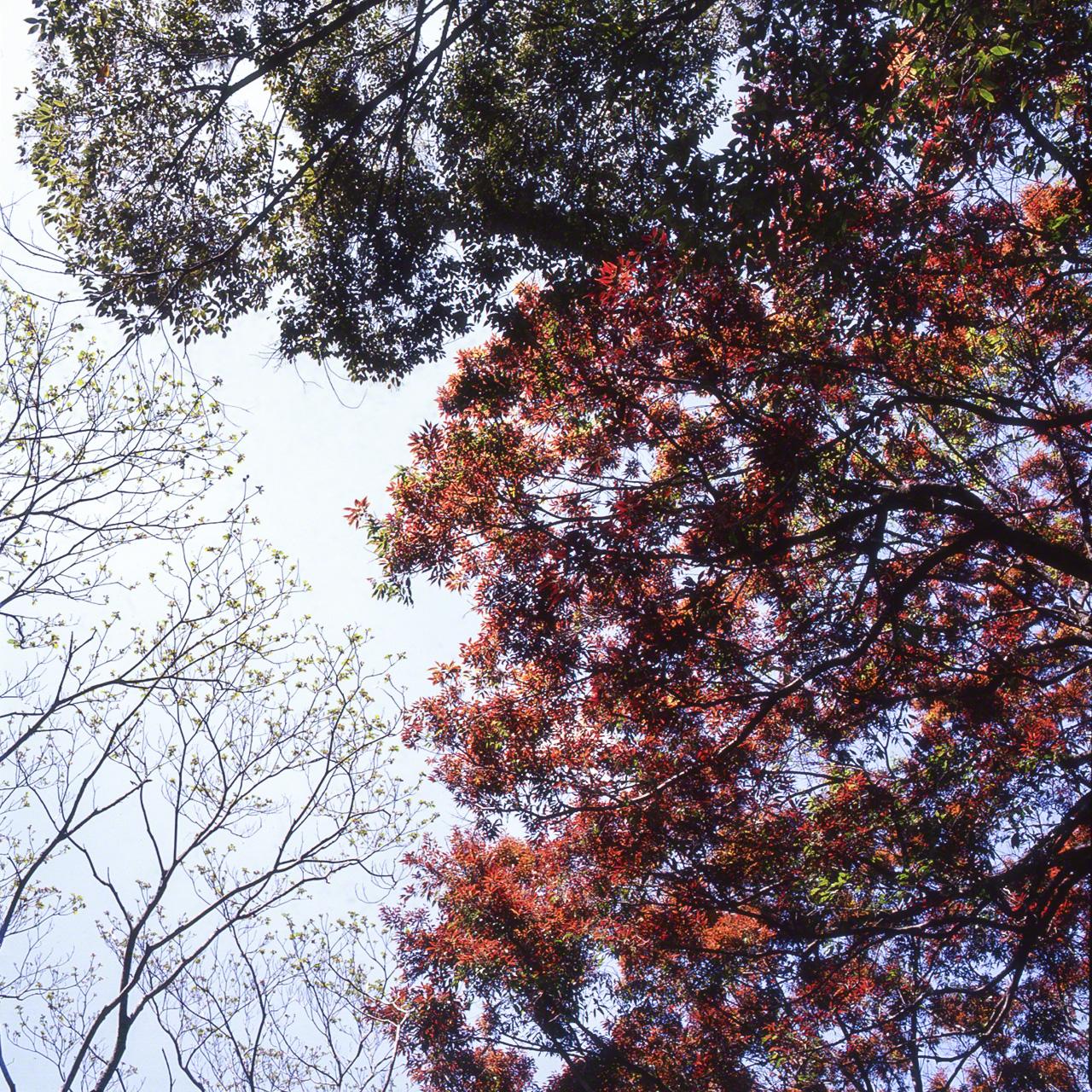 Молодые красные листья Quercus salicina