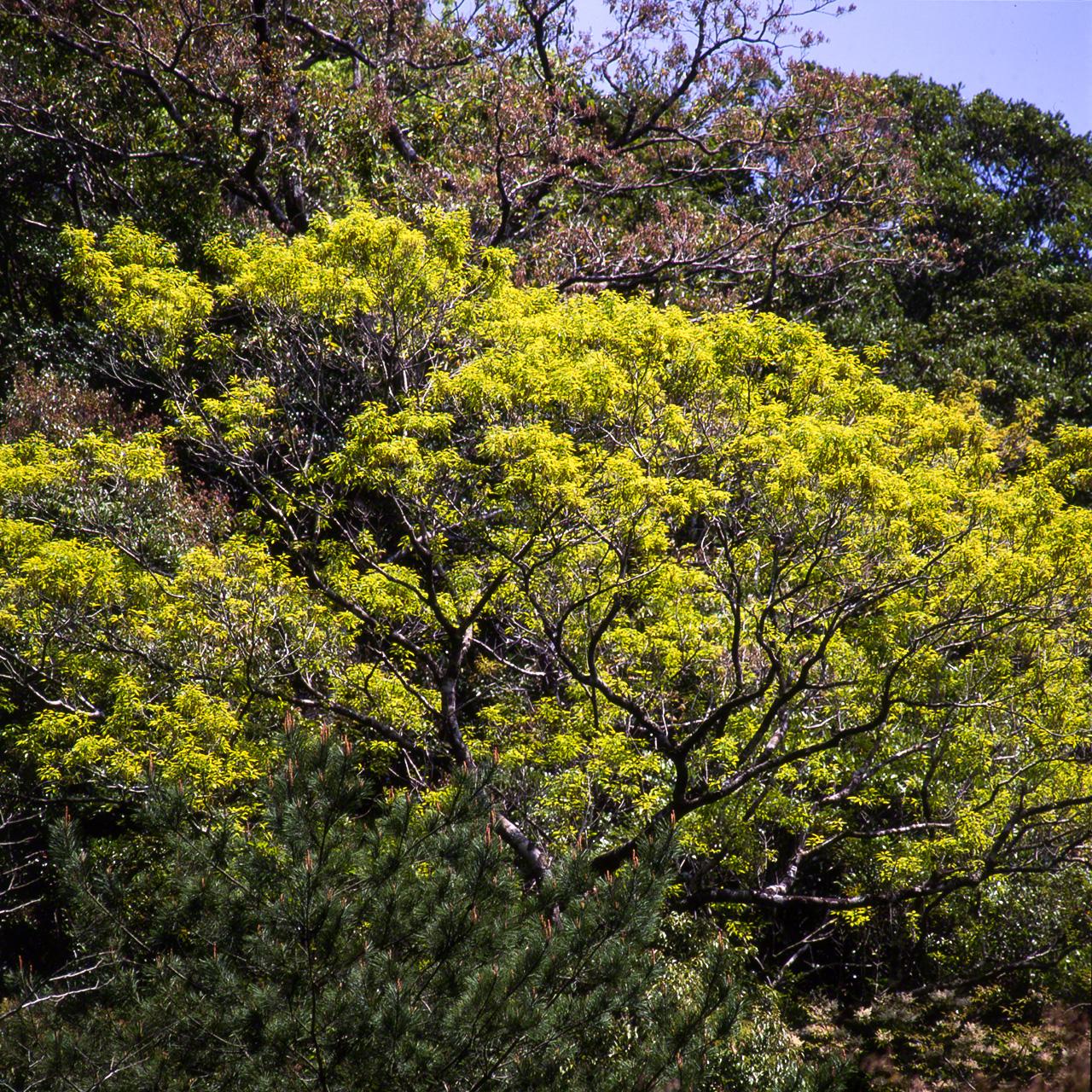 Цветы и новые листья Quercus salicina