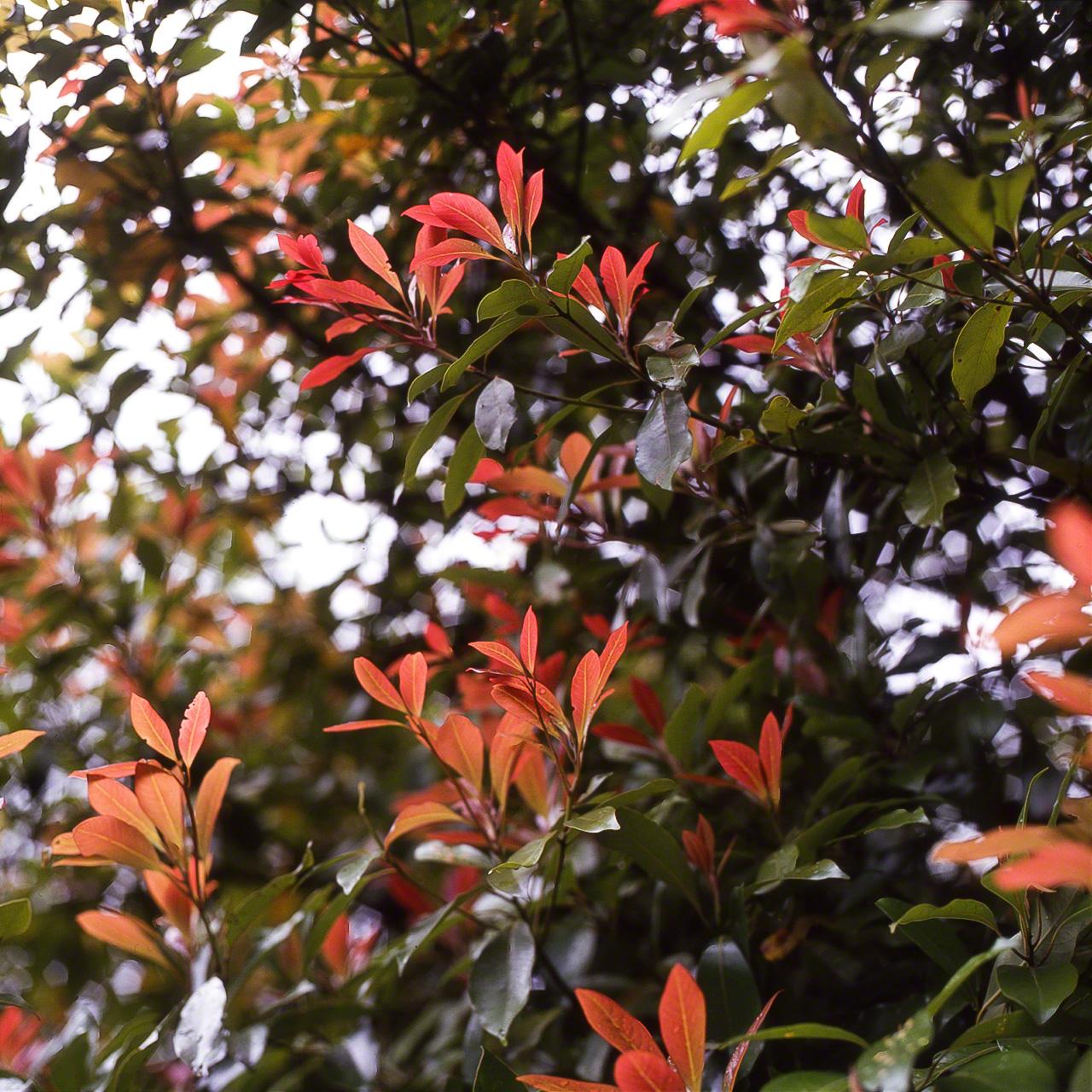 Новые листья Machilus thunbergii. Они бывают разных цветов, от красного до бледно-зелёного