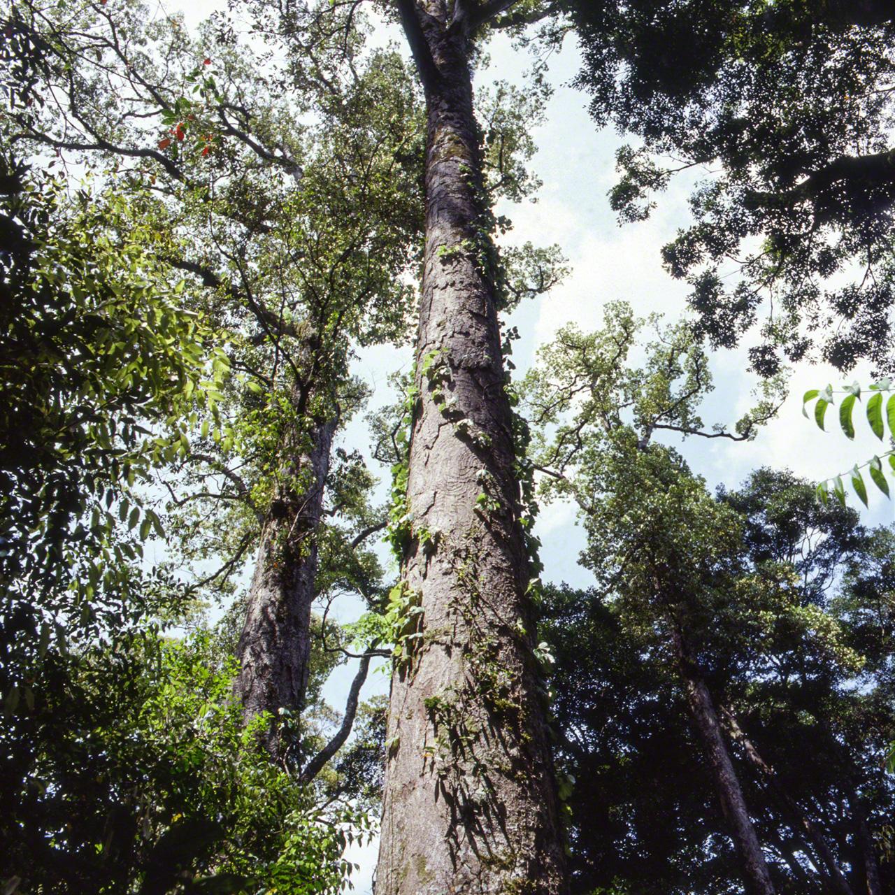 Большой итиигаси из рода Cyclobalanopsis, подрода Quercus. Это дерево – лучший представитель крупных лавровых деревьев. От ствола отходит мало ветвей, в высоту он может достигать 20 метров