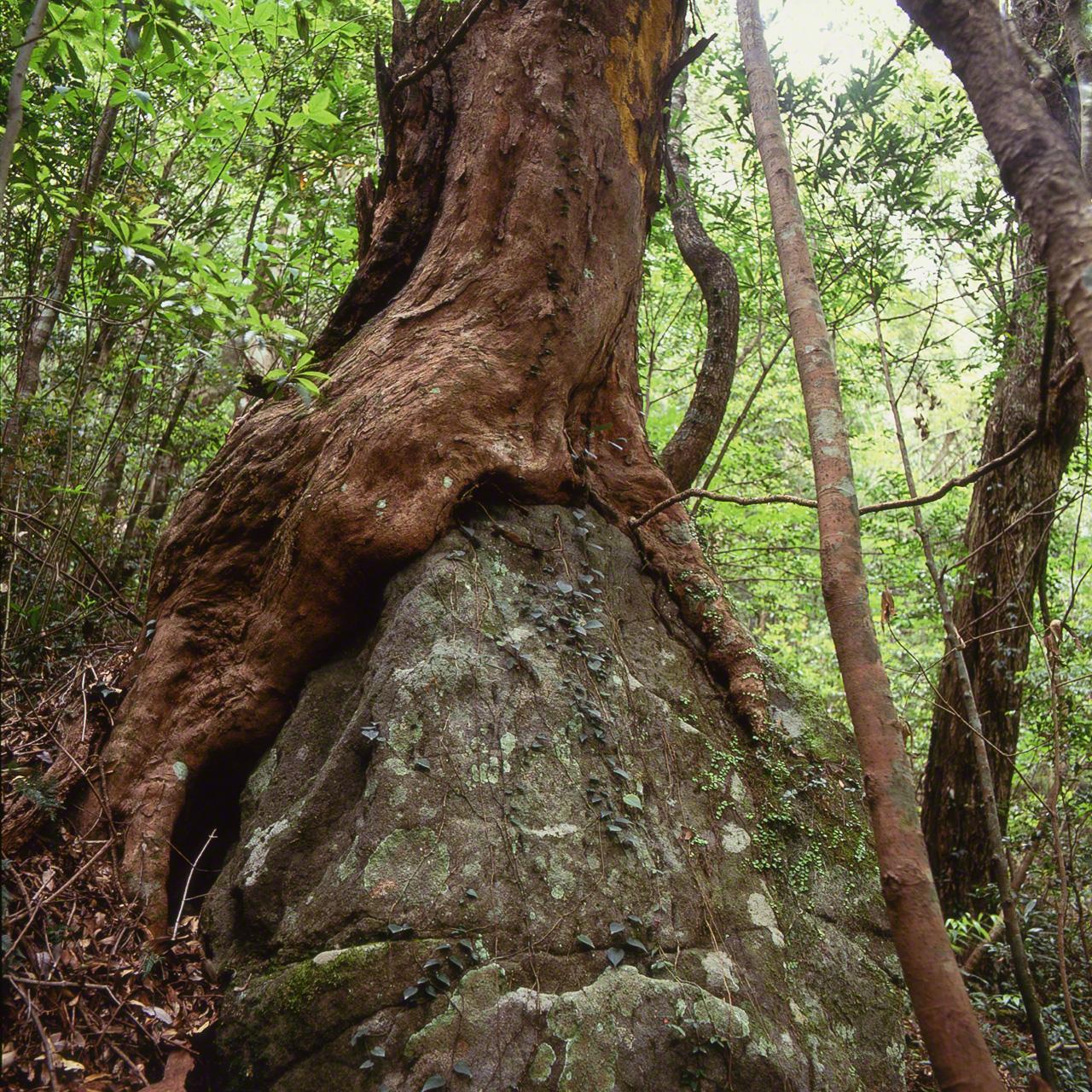 Distylium racemosum, дерево семейства Hamamelidaceae, корни которого как будто намерены поглотить скалу