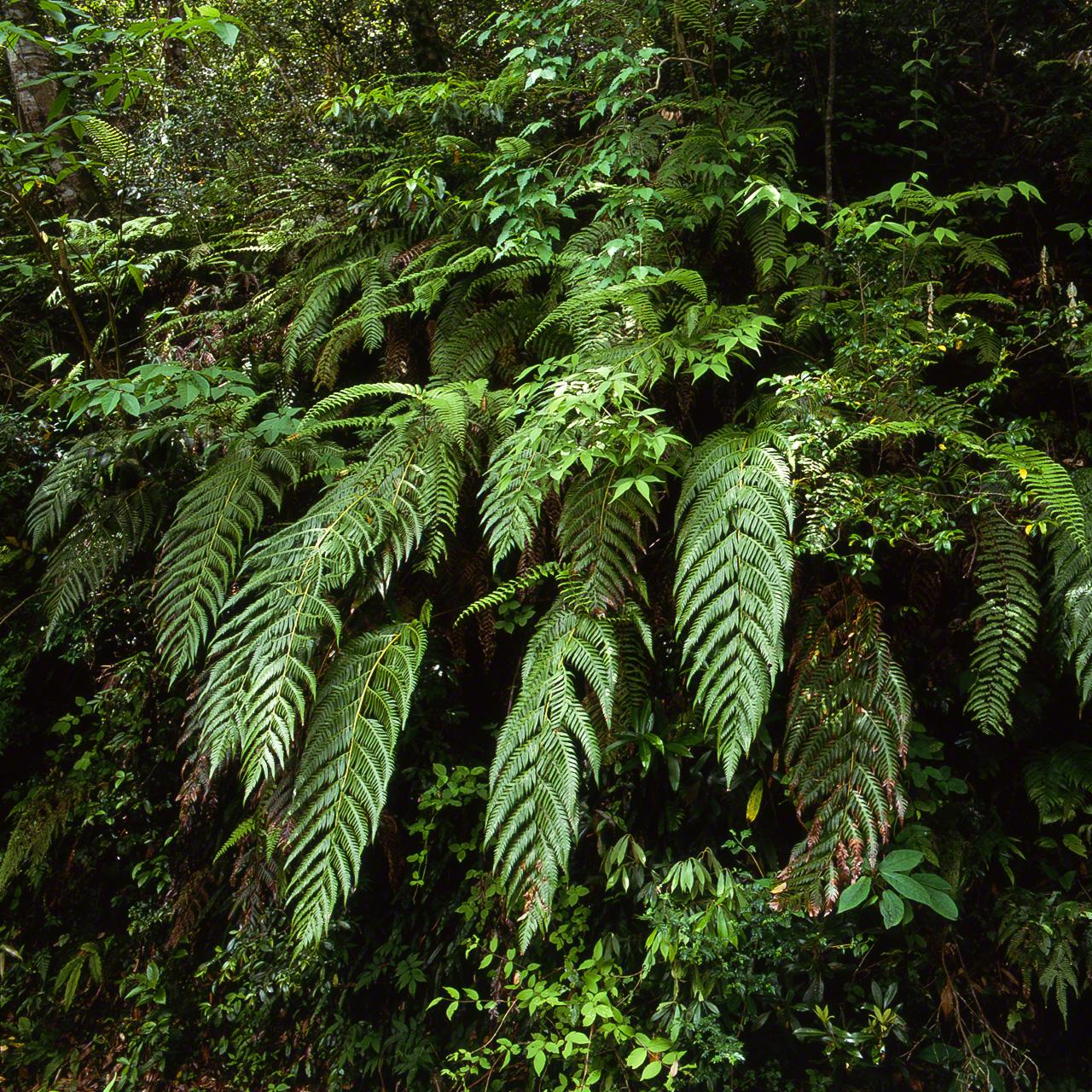 Woodwardia orientalis, или хатидзё-кагума, типичный вид больших японских папоротников