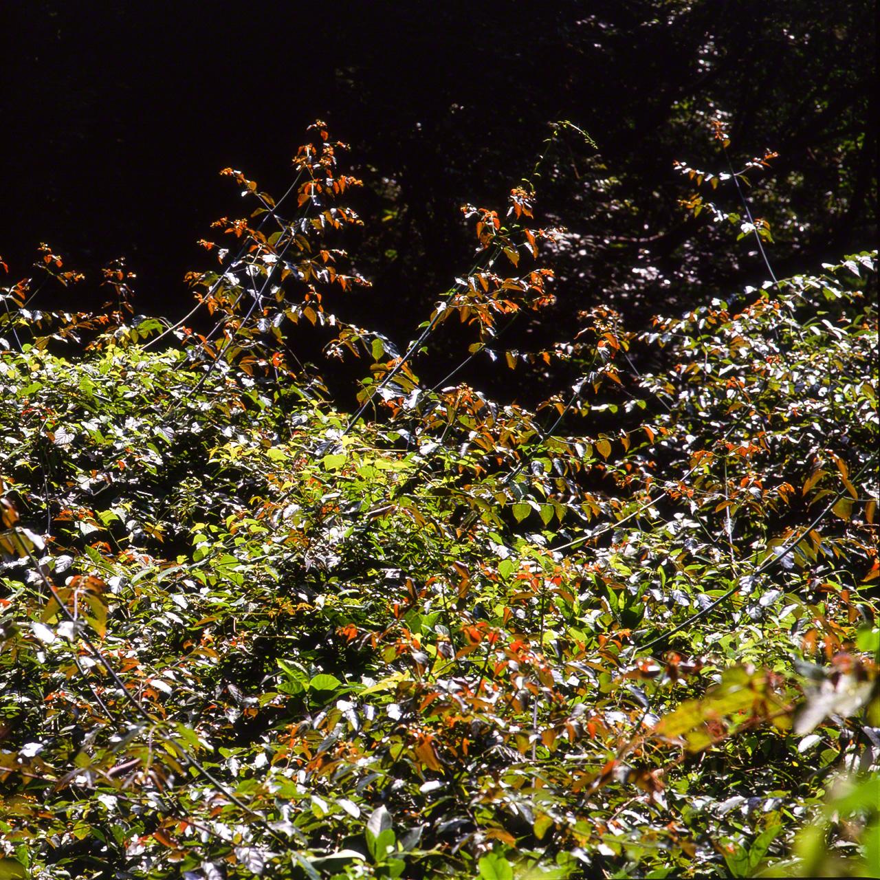 Лиана Uncaria rhynchophyllia