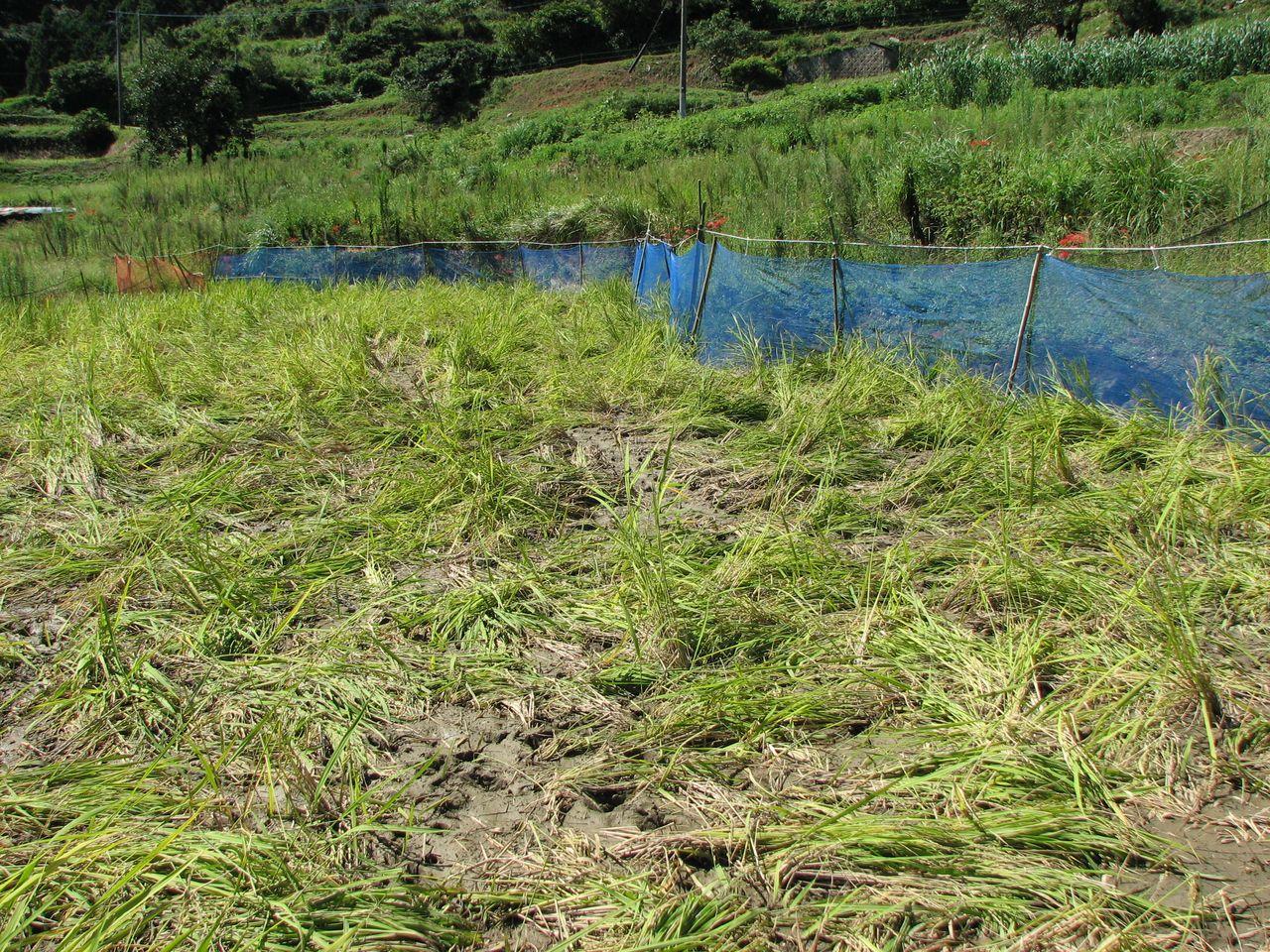 Вытоптанное кабанами рисовое поле (фото автора)