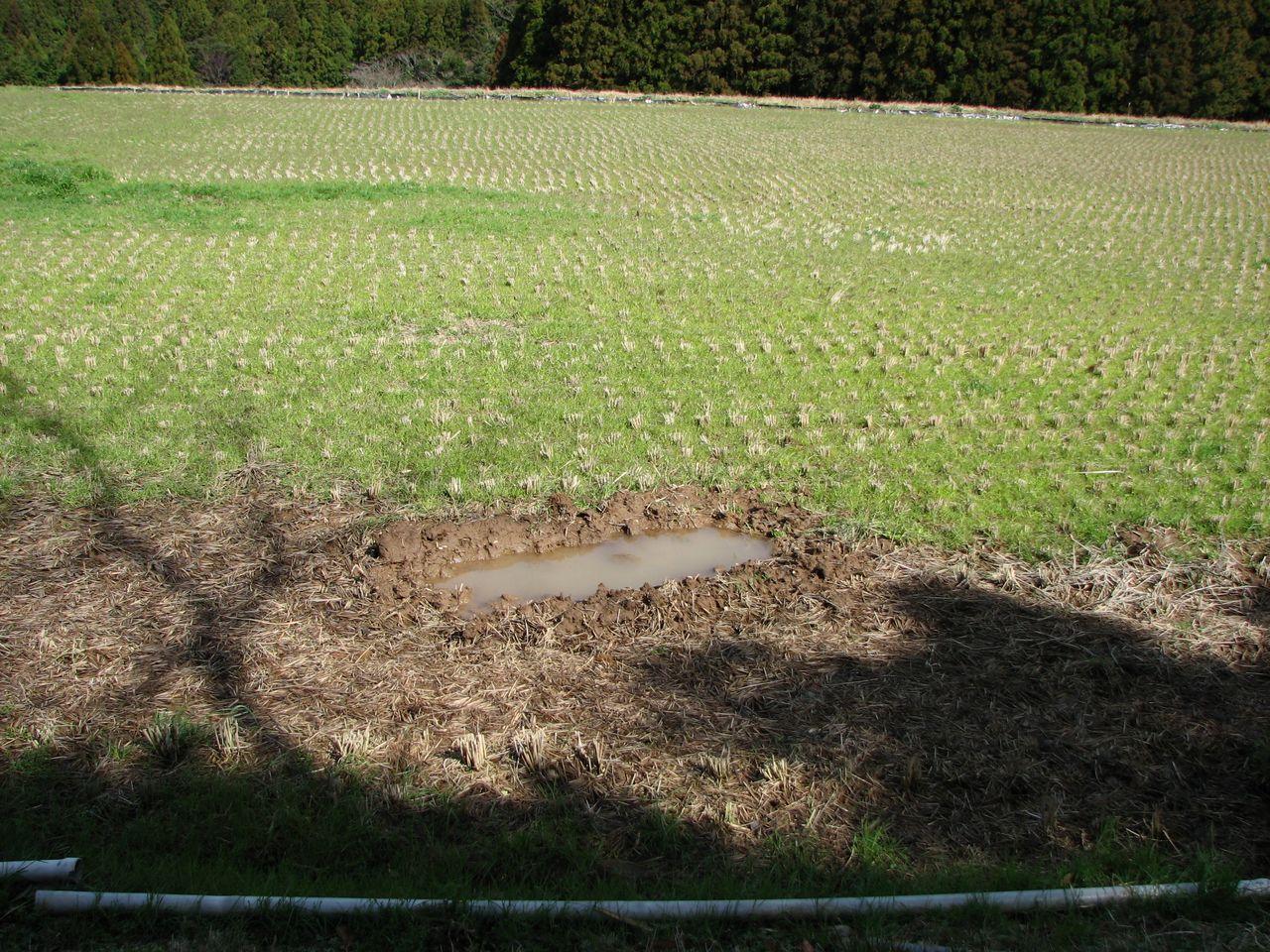 Следы купания кабанов на рисовом поле. Помимо риска столкновения с человеком это создаёт условия для заражения лептоспирозом (фото автора)