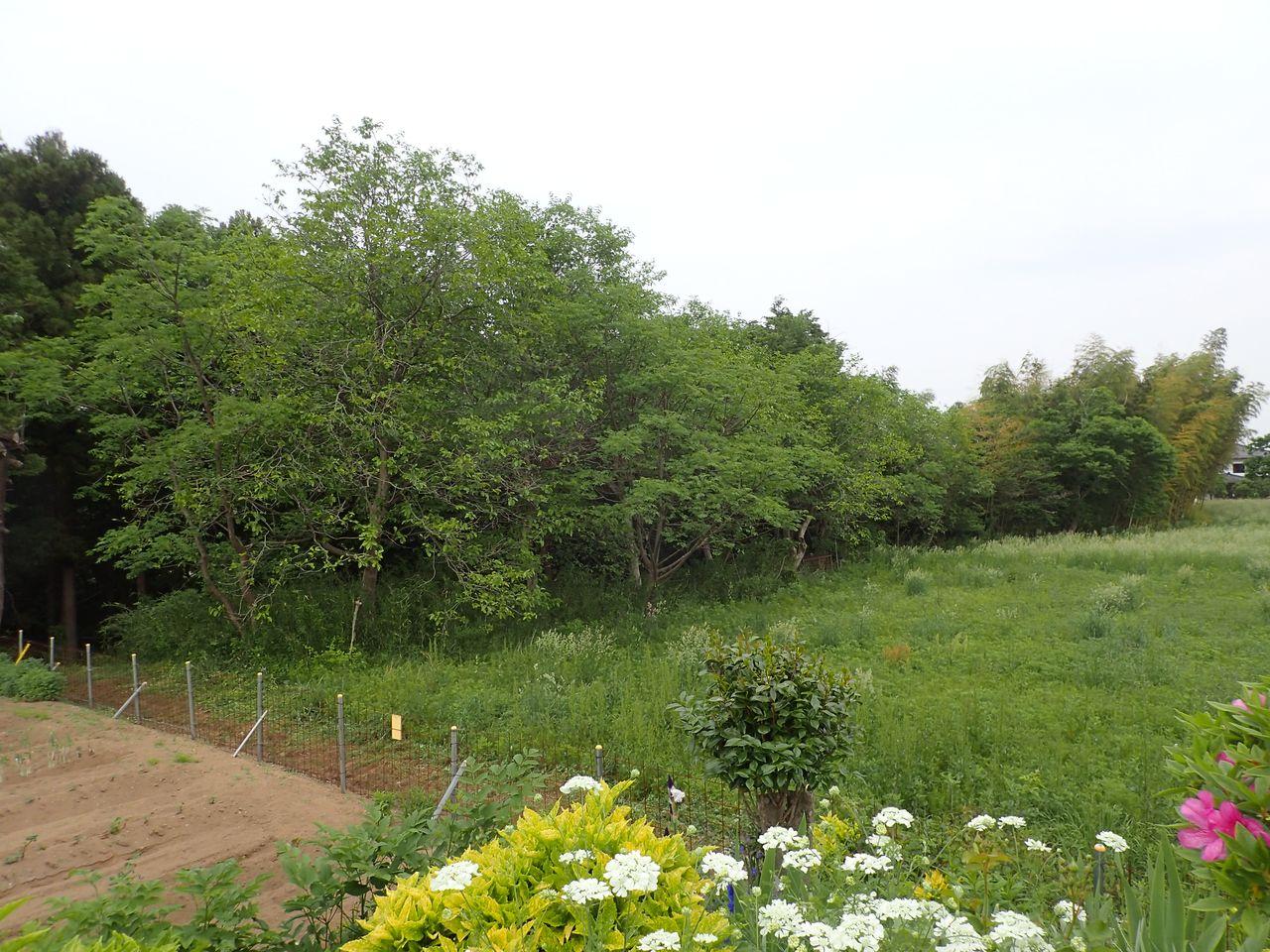 Огород вернувшегося из эвакуации жильца (слева) и заброшенный участок отсутствующего соседа. Для защиты от приходящих на соседний участок кабанов пришлось установить забор (фотография автора)