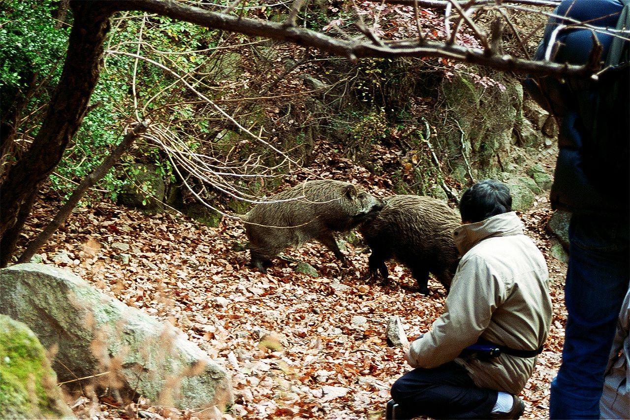 Кабаны на горе Рокко абсолютно не боятся людей (фото автора)