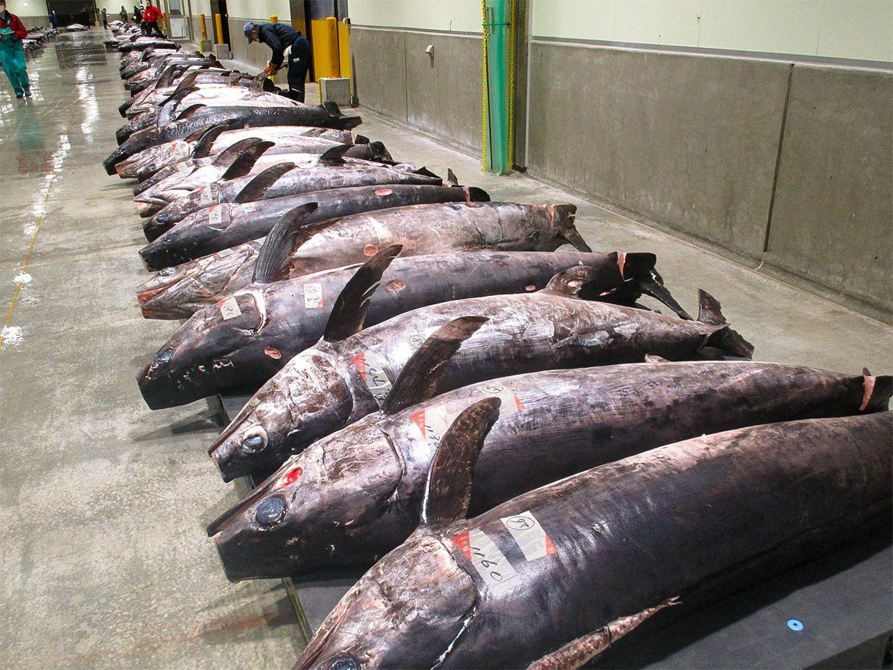 Ряды меч-рыбы на зимнем рыбном рынке Кэсэннумы, гордящегося самыми большими объемами доставки уловов во всей Японии. Нередки огромные особи весом более 300кг