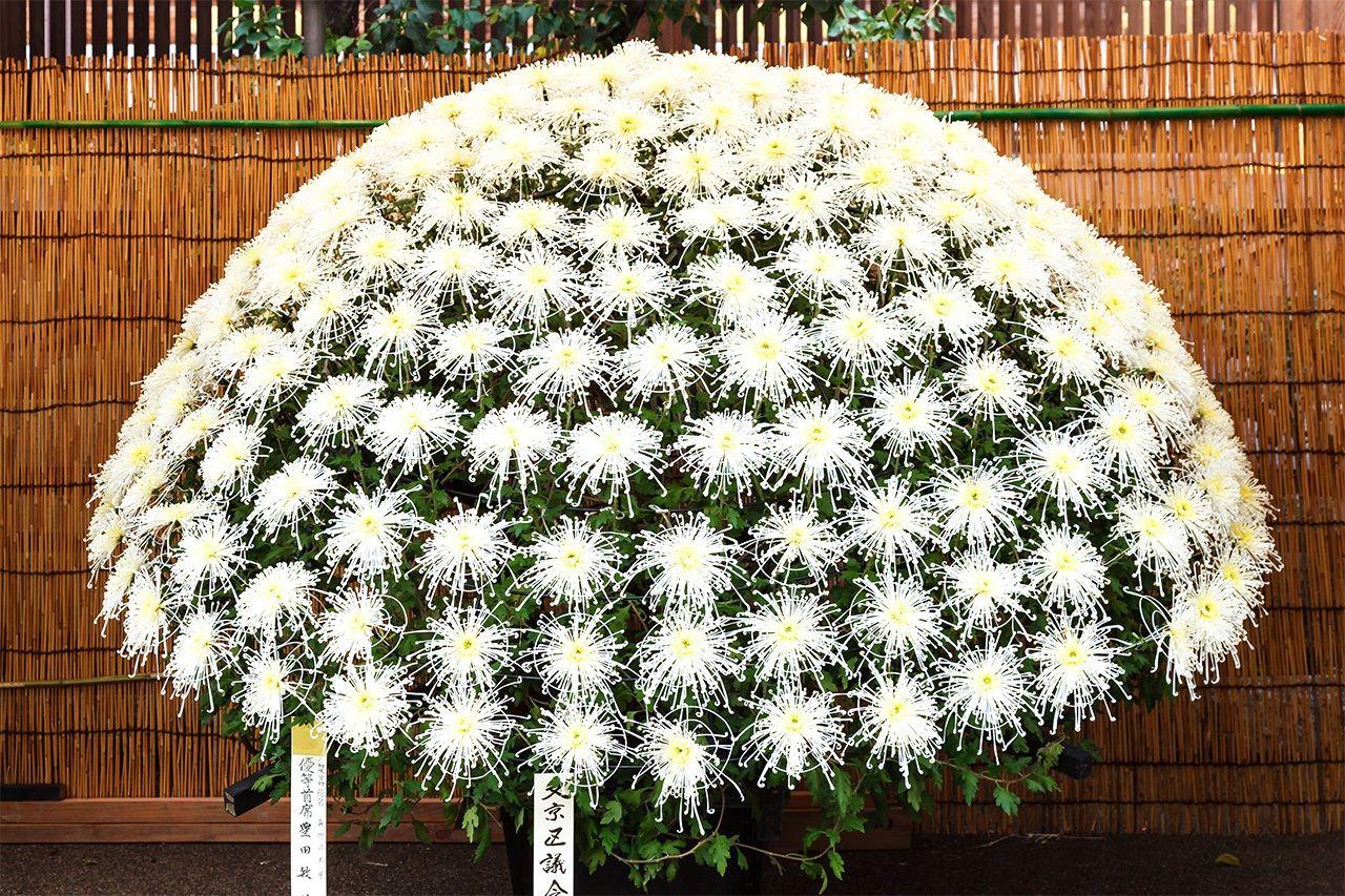 Расположение цветов хризантемы, разветвляющихся от одного стебля, известное как сэнрин-дзаки (© Мива Нориаки)