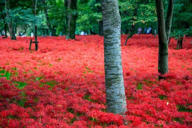 Знаменитые красные паучьи лилии Хидаки