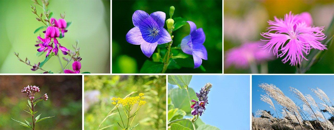 Осенние цветы, начиная с левого верхнего снимка: хаги (японский клевер), колокольчик, надэсико (розовая гвоздика), эвпаторий, патриния, кудзу и сусуки (пампасная трава)