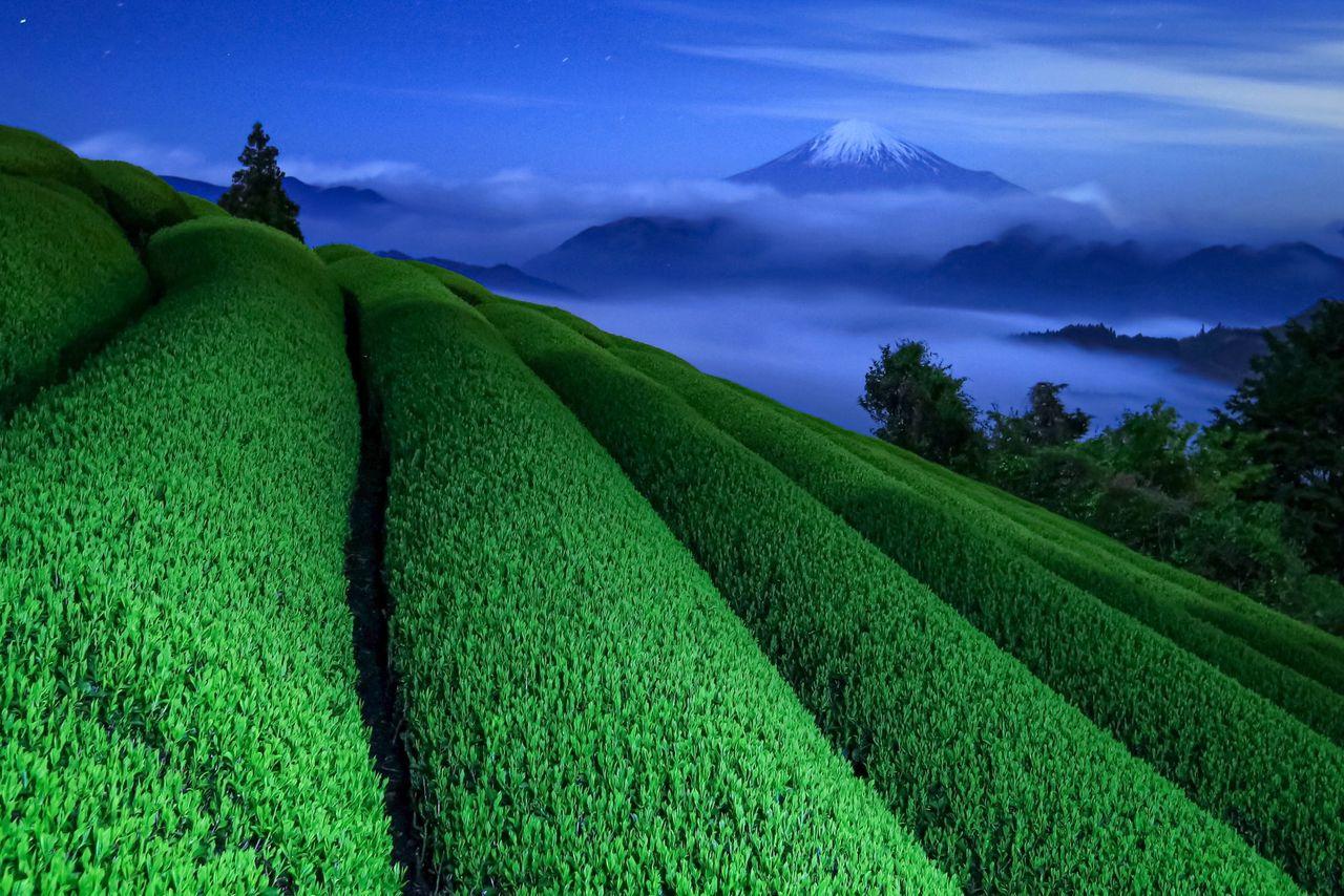 Сидзуока славится не только горой Фудзи, но и зелёным чаем. Этот снимок был сделан с места, где чайные кусты были освещены уличными фонарями, а вдалеке виднеется гора, окружённая облаками