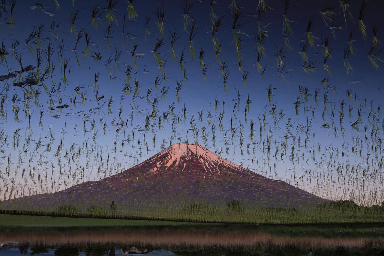 Комментаторы в соцсетях спрашивали, не поразило ли гору Фудзи нашествие саранчи. На самом деле это перевёрнутый снимок отражения горы на рисовом поле. Хасимуки старается делать и необычные фотографии горы, чтобы заинтересовать не только поклонников Фудзи, но и других людей