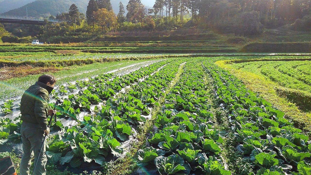 Органическая капуста, выращенная без пестицидов на ферме «Кин-тян»