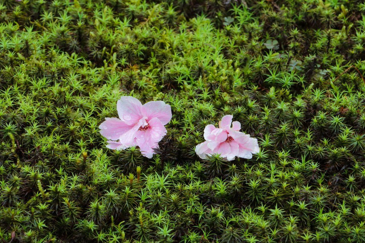 Мхи и цветы сакуры. И те, и другие тесно связаны с японской культурой (фотография автора)