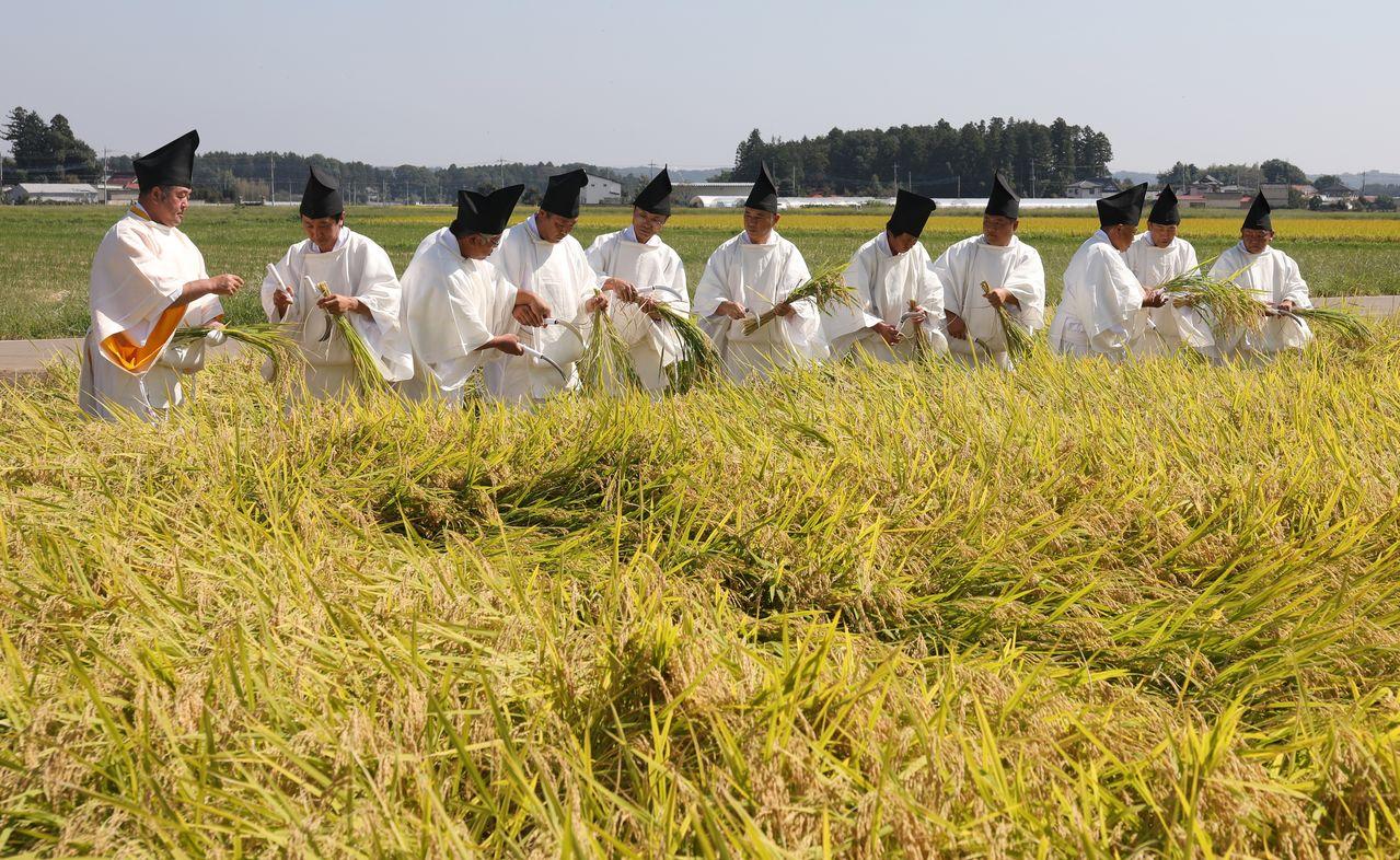 Сайдэн нукихо-но ги, церемония сбора риса нового урожая для Дайдзёсай, в пос. Таканэдзава (преф. Тотиги), 27 сентября 2019 г. (Jiji Press)