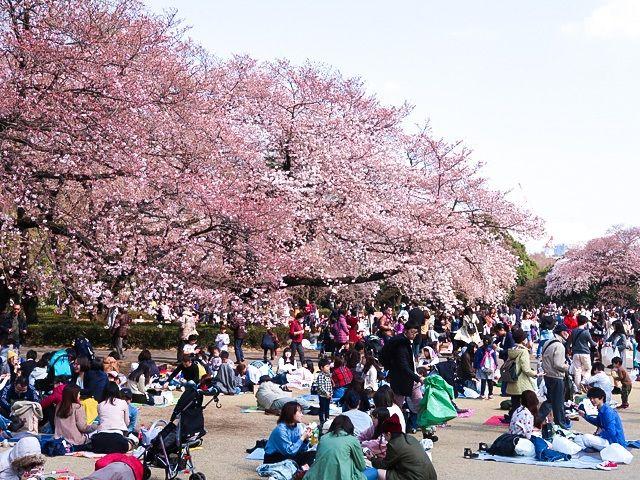 Ханами в токийском парке Синдзюку-гёэн. Цветущими деревьями любуются люди всех возрастов (фото автора)