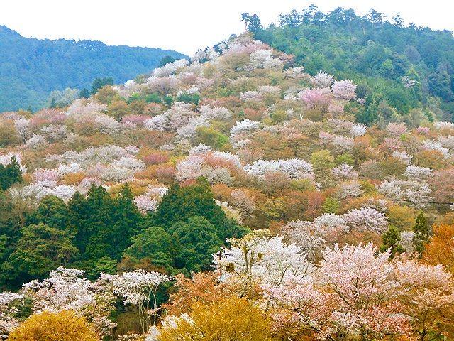 Ямадзакура на горе Ёсино в преф. Нара окрашивает склоны весенними красками (фото автора)