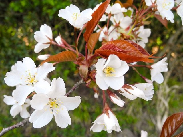 Цветы ямадзакуры, в которых белые цветы контрастируют с красными молодыми листьями (фото автора)