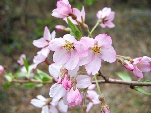 Цветы сакуры эдо-хиган распустились, а листьев ещё нет, благодаря чему цветы особенно выделяются (фото автора)