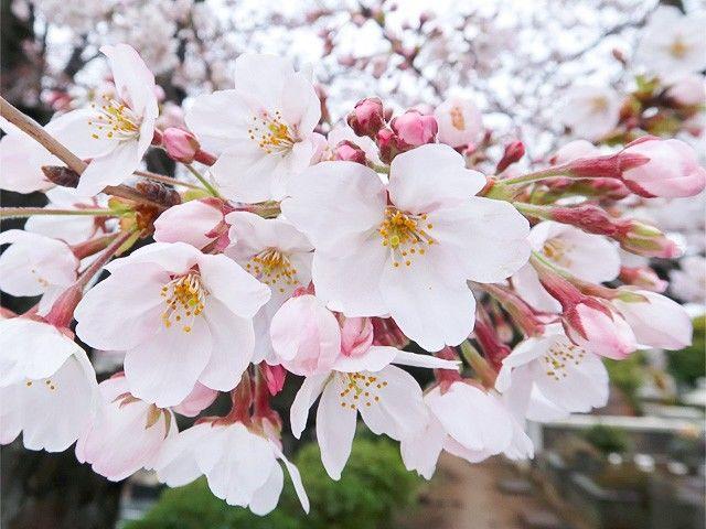 Бледно-розовые лепестки сорта сомэй-ёсино очень популярны в Японии (фото автора)