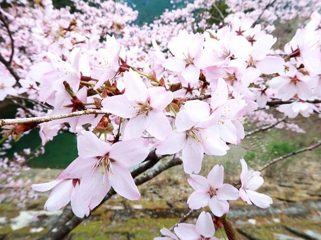 Светлые крупные цветы оосимадзакура (фото автора)