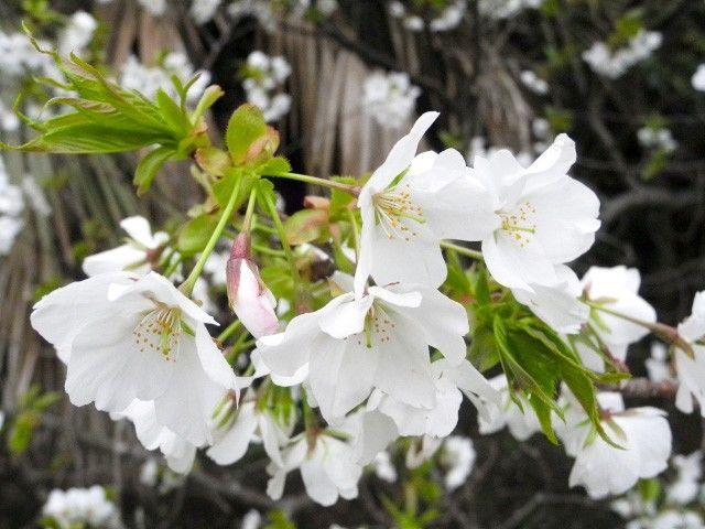 Крупные белые цветы оосимадзакура (фото автора)