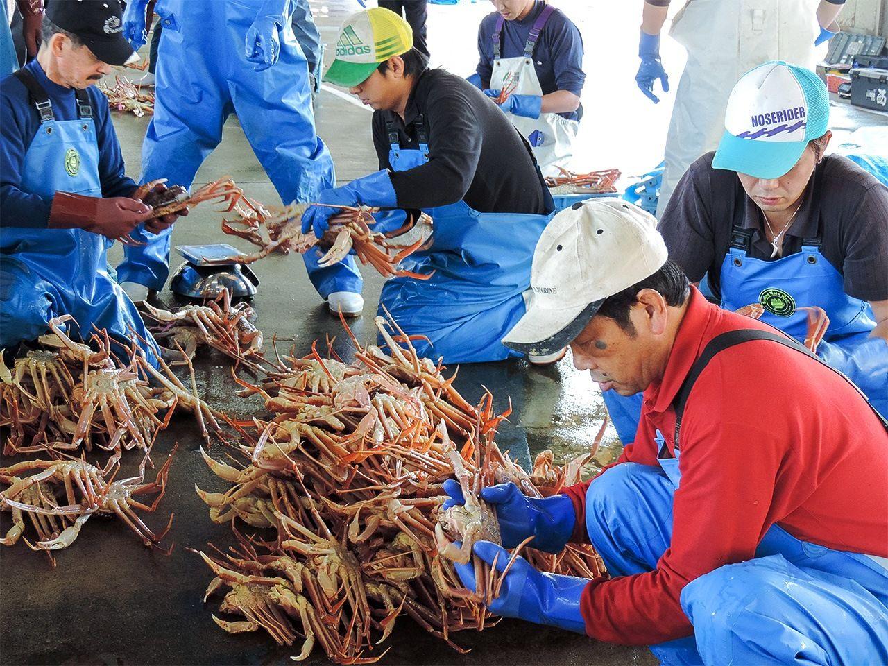 Сортировка снежного краба в рыболовном порту Сибаяма. Перед отправкой на аукцион крабов тщательно оценивают по различным параметрам