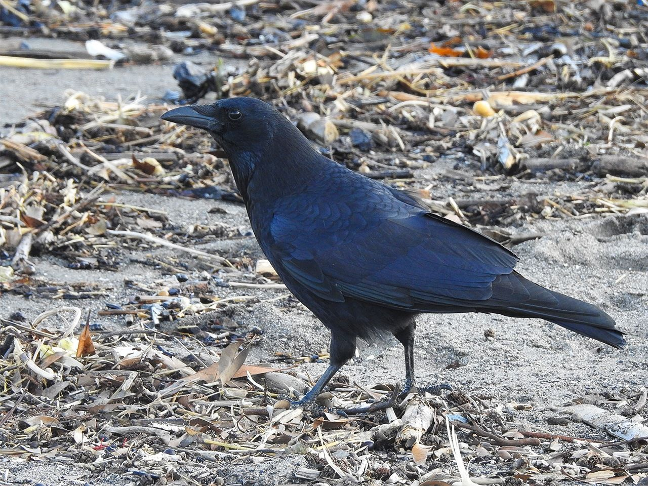 Чёрная ворона. Отличительные признаки: короткий клюв, квакающий голос, некрупное телосложение