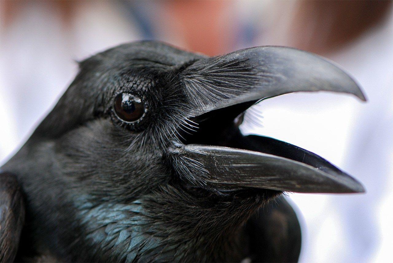 Большеклювая ворона более хищная, чем чёрная ворона. Изобилие еды, зданий и отсутствие естественных врагов – хищных птиц, вызвали резкий прирост их численности в городской зоне