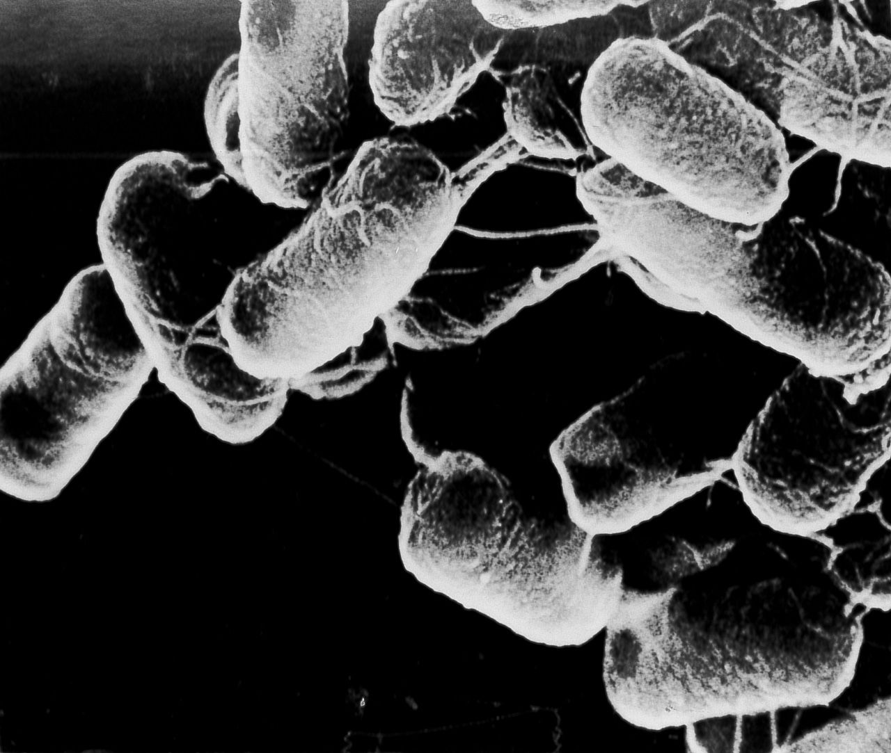 Бактерии, превращающие варёную сою в натто (© Такэо Коидзуми)