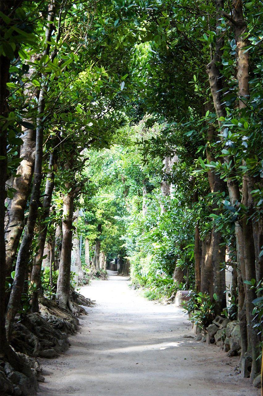 Аллеи фукуги вдоль прямых дорог, выстроенных по квадратной планировке в соответствии с принципами фэншуй, стали обычным явлением в деревнях на всех островах Рюкю в XVIII-XIX веках. Эти деревья также служили защитой от частых тайфунов (фото автора)