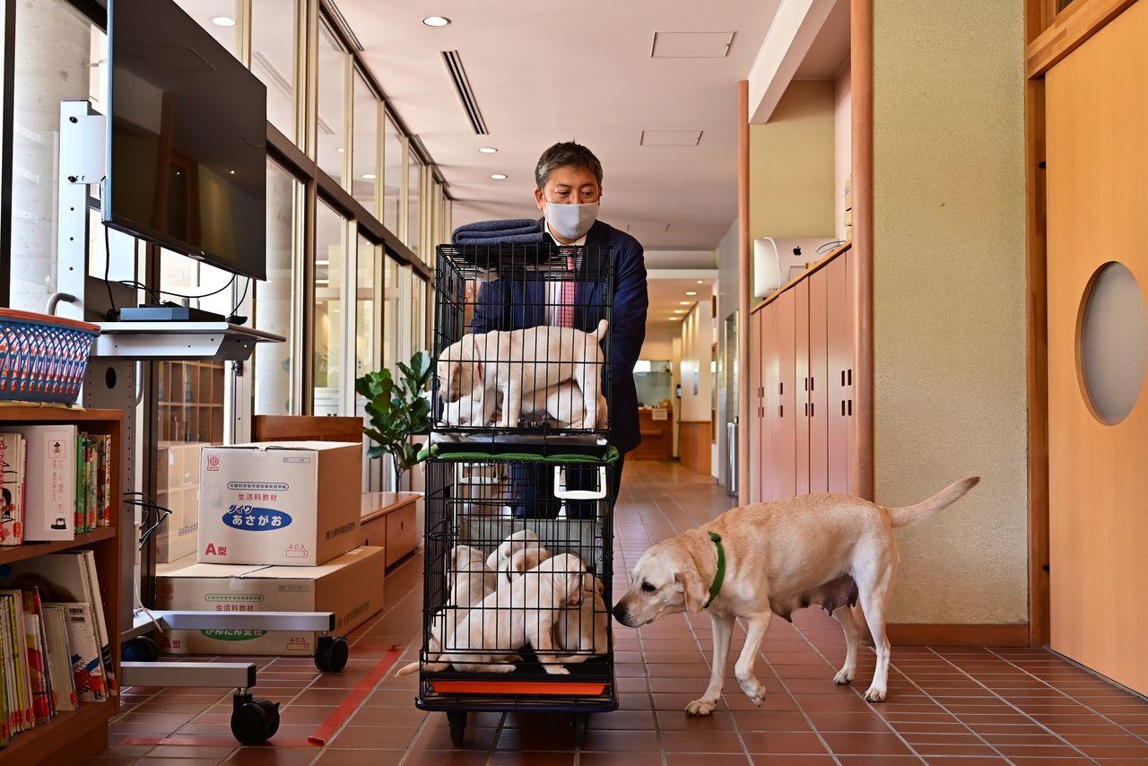 Креа сопровождает учителя, везущего в класс её полуторамесячных щенят