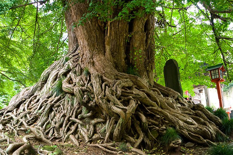 Дерево гинкго осенью